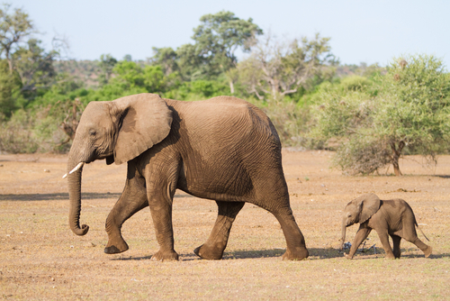 Os elefantes correm risco de extinção