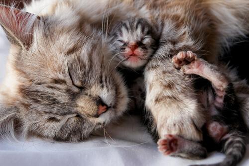 o que acontece no parto dos gatos