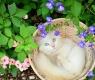 gato-albino