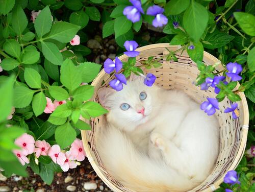 Fatos surpreendentes sobre surdez nos gatos albinos
