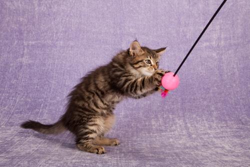 gato-brincando