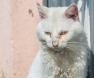 gato-conjutivite