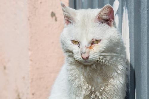 Como tratar a conjuntivite dos gatos