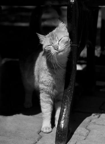 Você sabe por que o seu gato esfrega a cabeça contra seu corpo?