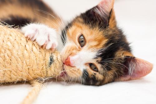 Por que os gatos arranham?
