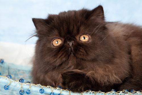 Caffrey, o gato que anda só com as duas patas do mesmo lado