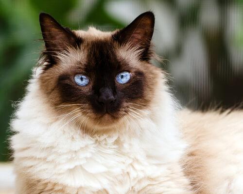 O gato Himalaio