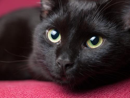Personalidade, beleza e elegância, assim são os gatos pretos
