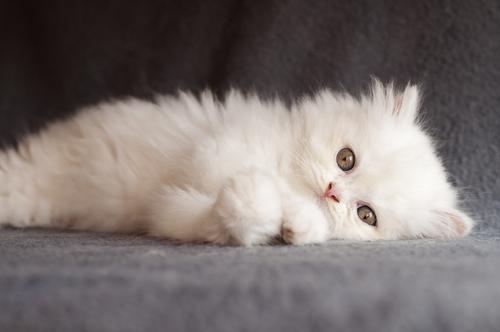 Origem do gato Persa