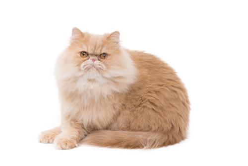 Raças de gato: Persa, uma das mais famosas do mundo
