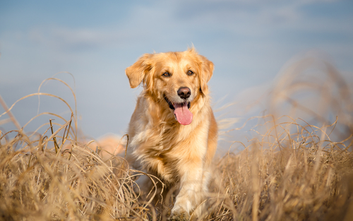 Cão da raça Golden Retriever