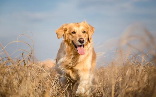 Cão da raça Golden Retriever