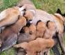 gravidez-cadelas-2