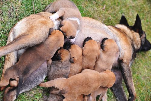 A gestação das cadelas