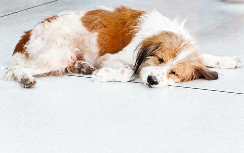 Sinais de hemorragia em cachorros