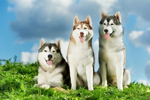 Os cães nórdicos e sua personalidade