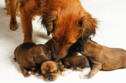 Cadela lambendo seus filhotes