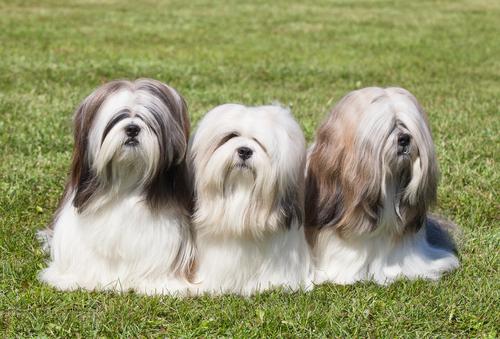 Raças de cães provenientes da China