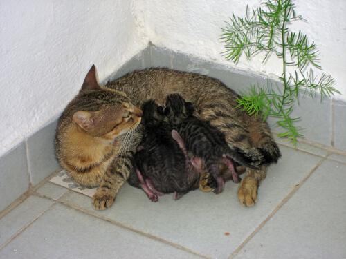 Você sabe como acontece o parto dos gatos?