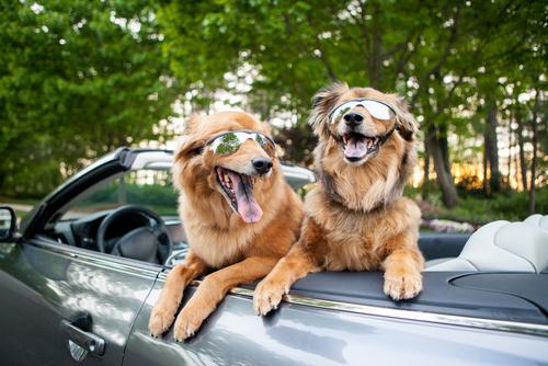 cachorros-no-carro