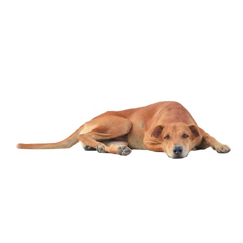 Remédios caseiros para cachorros com prisão de ventre
