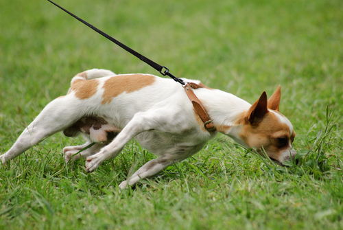 Adestramento canino: evitar os puxões de coleira de forma simples