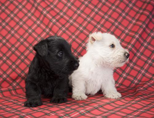Condições de um Terrier Escocês