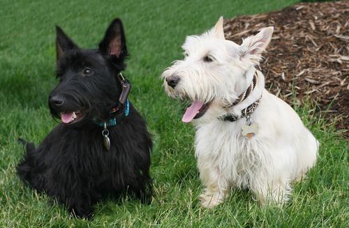 Cães da raça Terrier Escocês