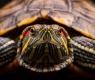 tartaruga-orelha-vermelha