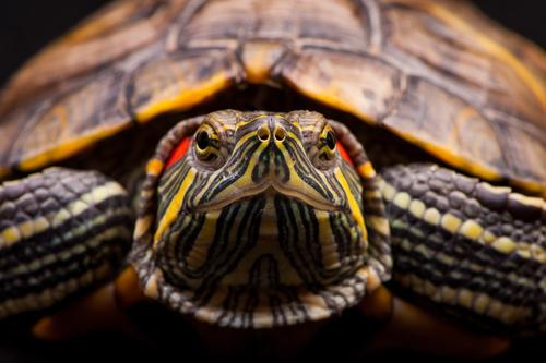 A tartaruga de orelhas vermelhas. Um animal delicado