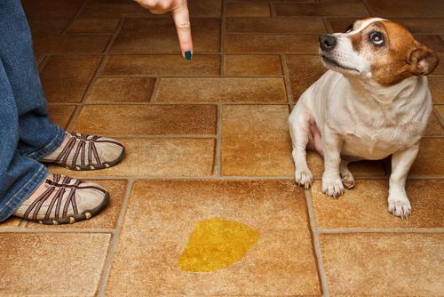 Ensinar cão a fazer as necessidades no local certo