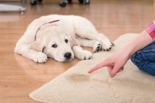 Como ensinar um cachorro a fazer xixi