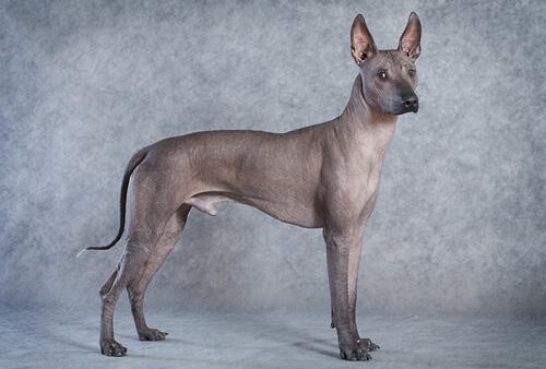 As 5 raças de cachorros sem pelo