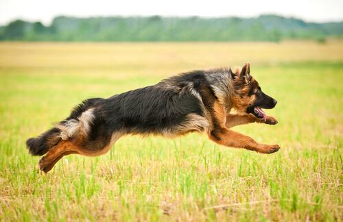 Cachorro da raça pastor alemão