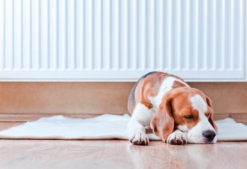 Você acha que seu cão tem uma febre quando seu nariz está quente?