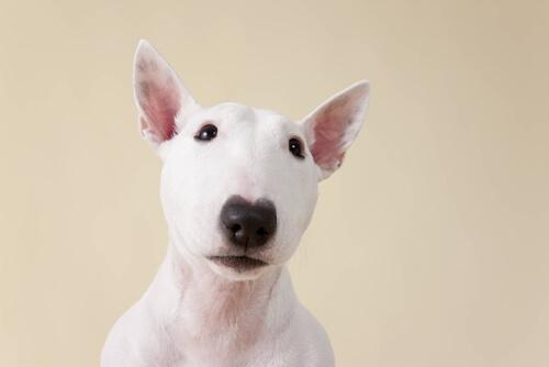 Como criar um cão com albinismo