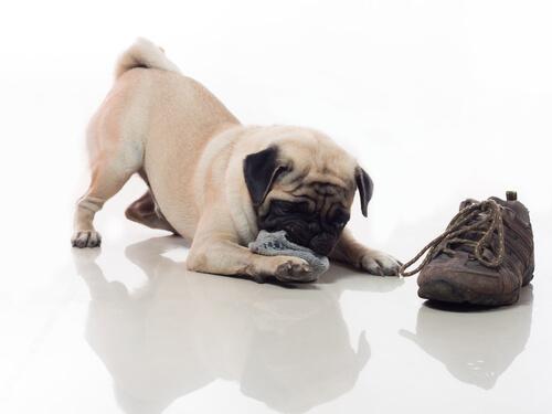 cão-sapato