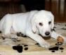 cachorro-labrador-albino