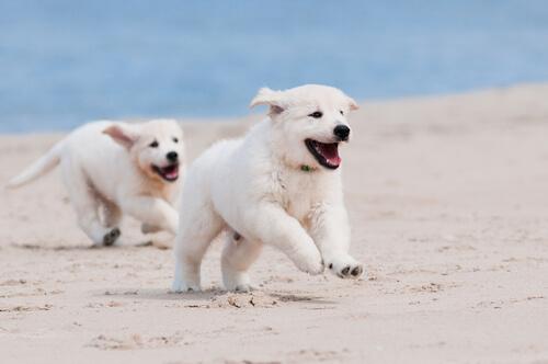 Saiba os cuidados que devem ser tomados com um cão que nasceu com albinismo