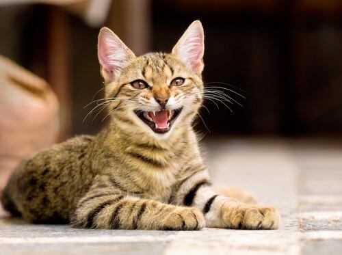 Por que o meu gato mia de forma agitada?