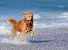 golden-retriever-correndo