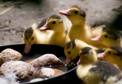 Cuidar de patos requer atenção na alimentação
