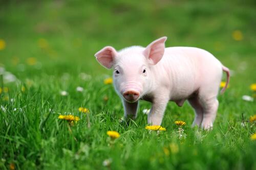 """Porco escapa de fazenda e """"reza"""" em templo budista"""