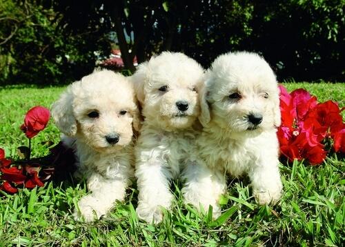 Poodle está entre as raças de cachorro mais inteligentes