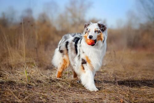 O pastor Australiano é uma das raças de cachorro mais inteligente