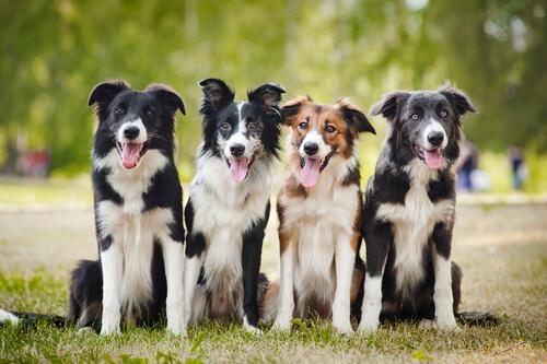 As raças de cachorro mais inteligentes