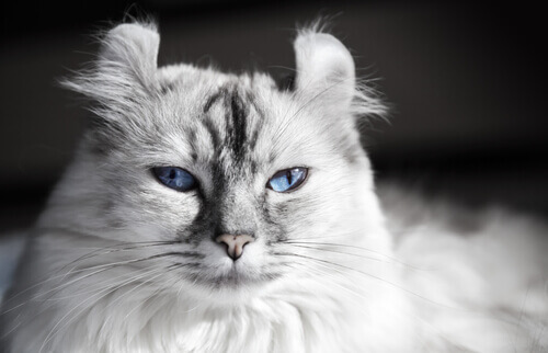 As raças de gato mais originais