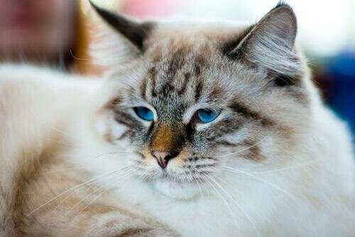 Gato da raça Ragamuffin