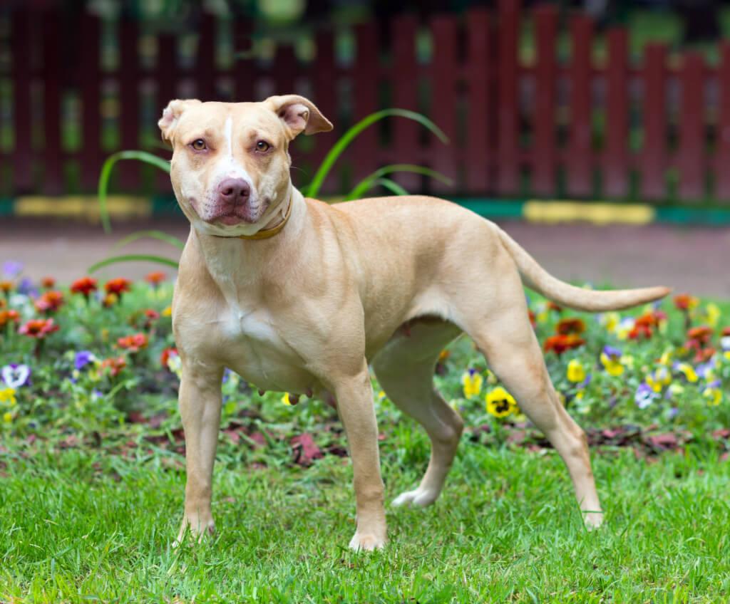 Aparência do American Pitbull Terrier