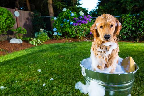 Como dar banho em um cachorro de pelo curto